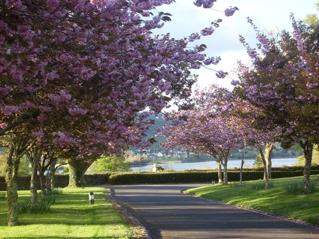Sheen-Falls-Lodge---Cherry-Blossoms-Driveway